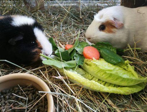 Piggie 12